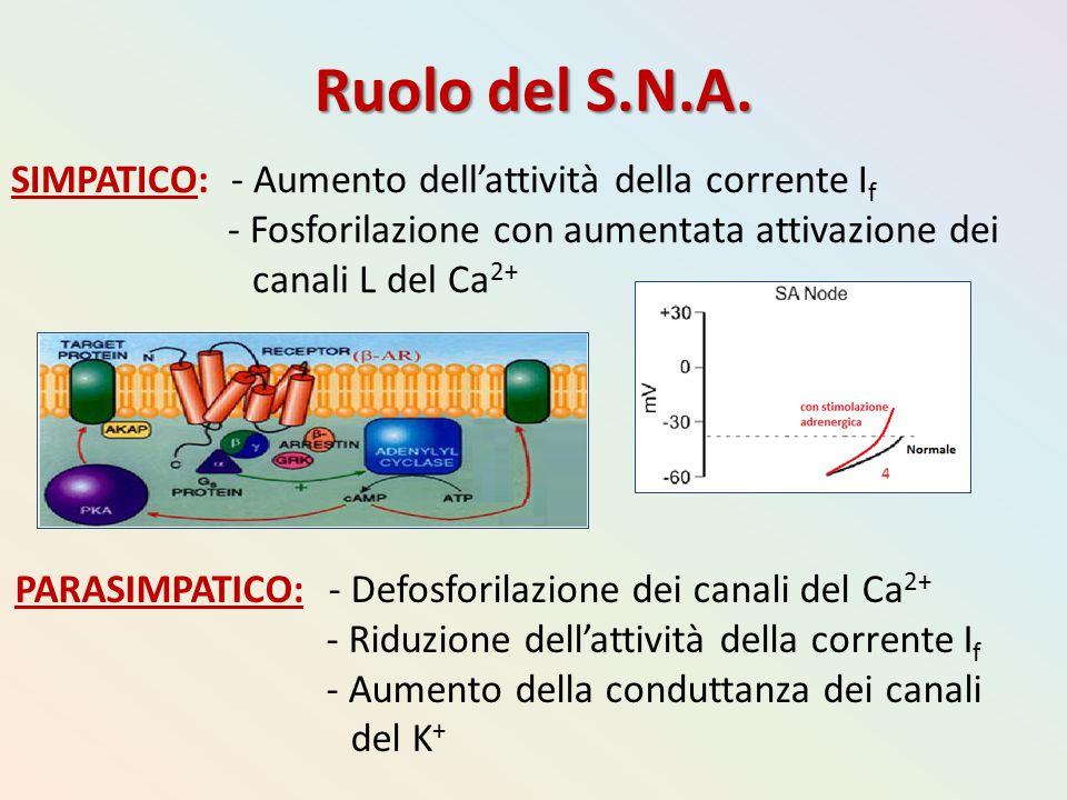 Ruolo del S.N.A. SIMPATICO: - Aumento dell'attività della corrente I f - Fosforilazione con aumentata attivazione dei canali L del Ca 2+ PARASIMPATICO