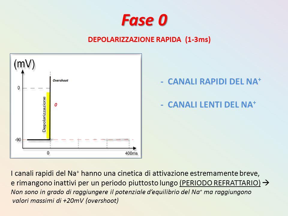 Fase 0 DEPOLARIZZAZIONE RAPIDA (1-3ms) - CANALI RAPIDI DEL NA + - CANALI LENTI DEL NA + I canali rapidi del Na + hanno una cinetica di attivazione est