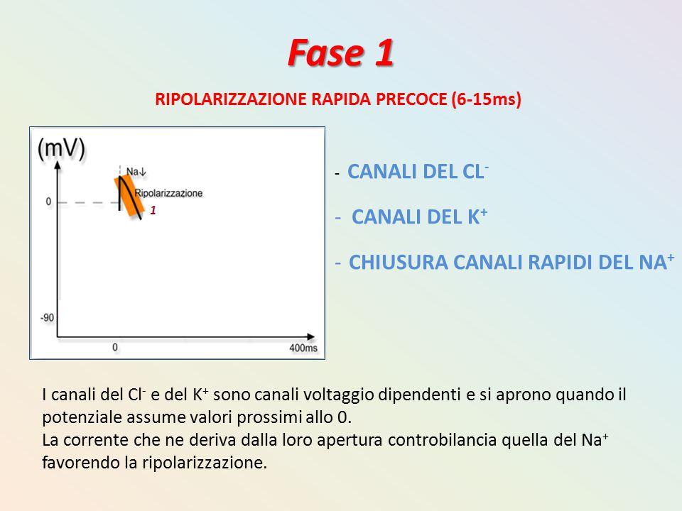 Fase 1 RIPOLARIZZAZIONE RAPIDA PRECOCE (6-15ms) - CANALI DEL CL - - CANALI DEL K + - CHIUSURA CANALI RAPIDI DEL NA + I canali del Cl - e del K + sono
