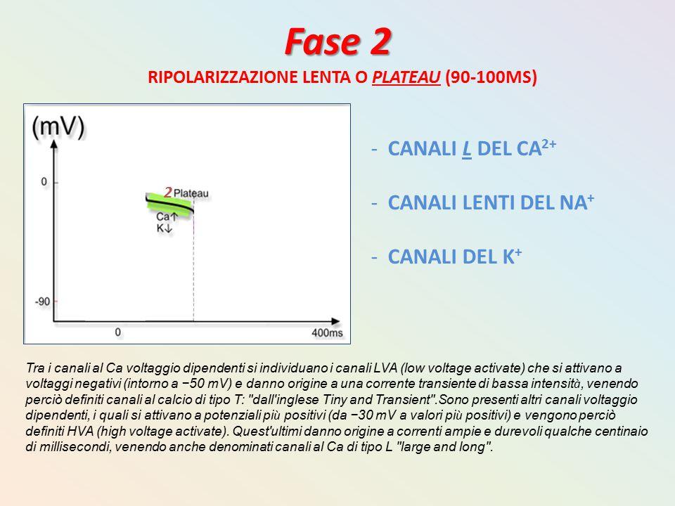 Fase 2 RIPOLARIZZAZIONE LENTA O PLATEAU (90-100MS) - CANALI L DEL CA 2+ - CANALI LENTI DEL NA + - CANALI DEL K + Tra i canali al Ca voltaggio dipenden