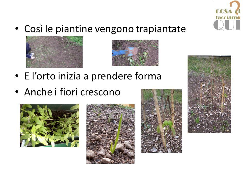 Così le piantine vengono trapiantate E l'orto inizia a prendere forma Anche i fiori crescono