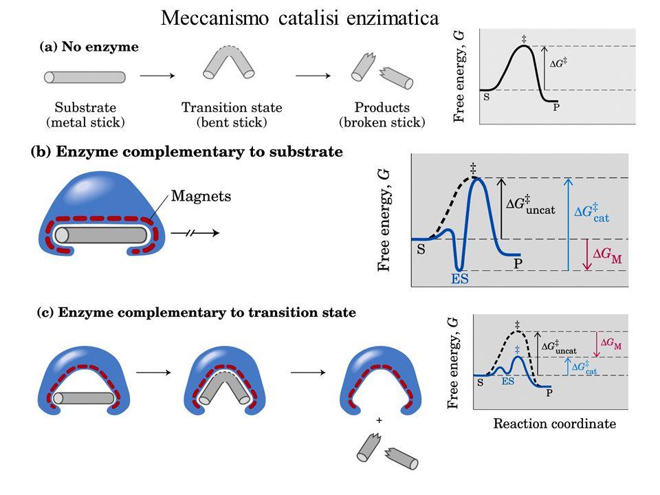 Meccanismo catalisi enzimatica