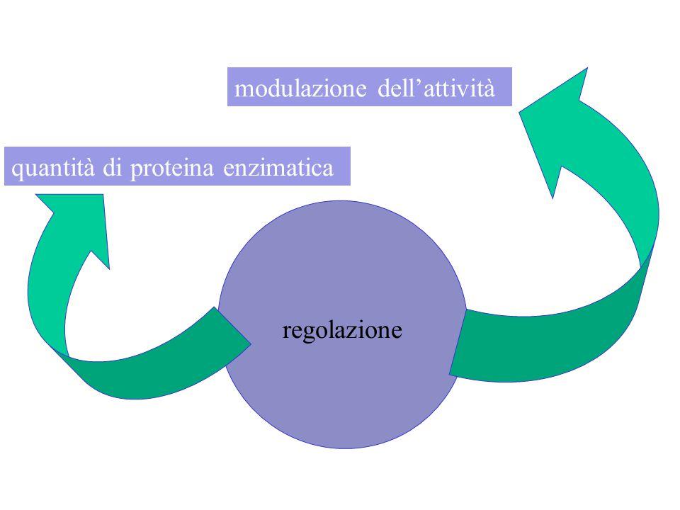 regolazione modulazione dell'attività quantità di proteina enzimatica
