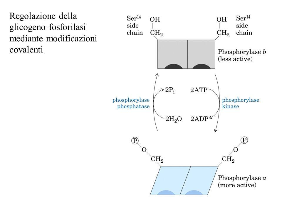 Regolazione della glicogeno fosforilasi mediante modificazioni covalenti