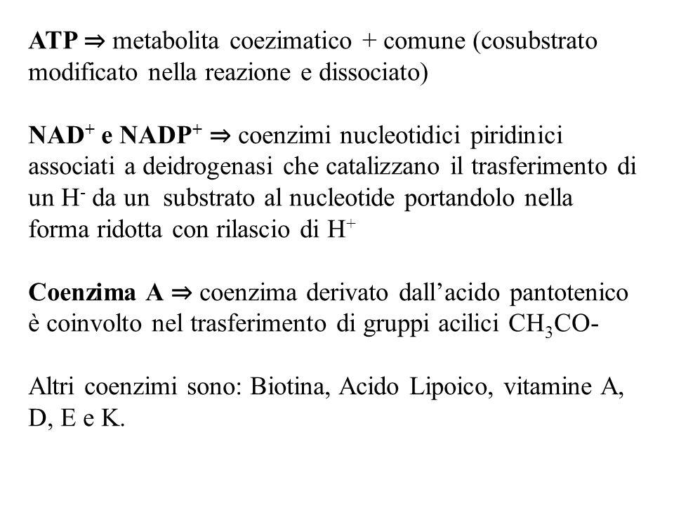 ATP ⇒ metabolita coezimatico + comune (cosubstrato modificato nella reazione e dissociato) NAD + e NADP + ⇒ coenzimi nucleotidici piridinici associati