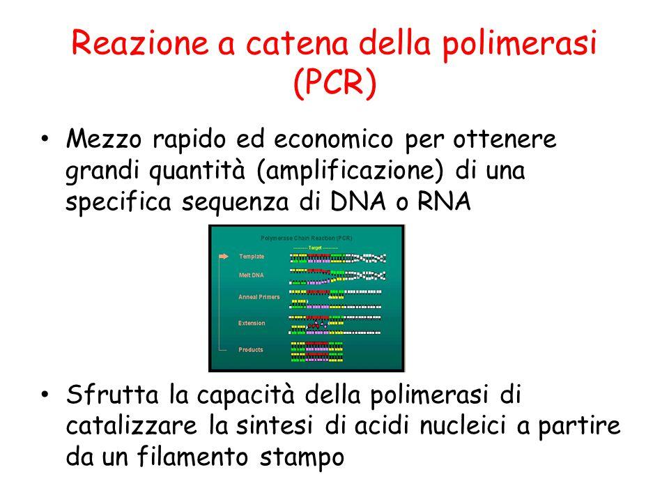 Reazione a catena della polimerasi (PCR) Mezzo rapido ed economico per ottenere grandi quantità (amplificazione) di una specifica sequenza di DNA o RN