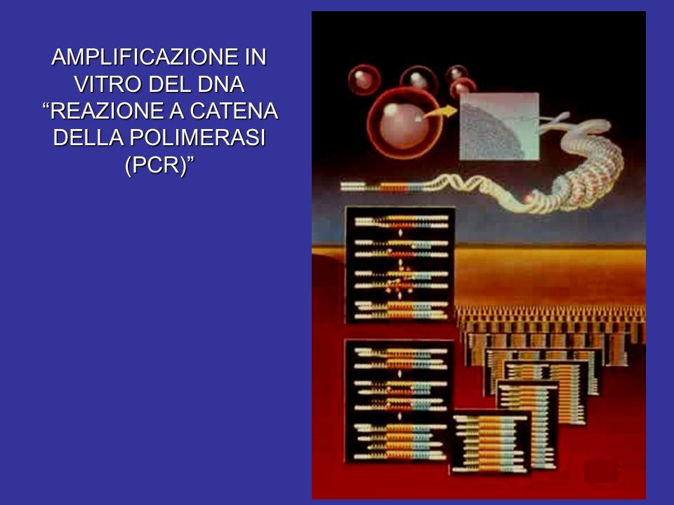 """AMPLIFICAZIONE IN VITRO DEL DNA """"REAZIONE A CATENA DELLA POLIMERASI (PCR)"""""""