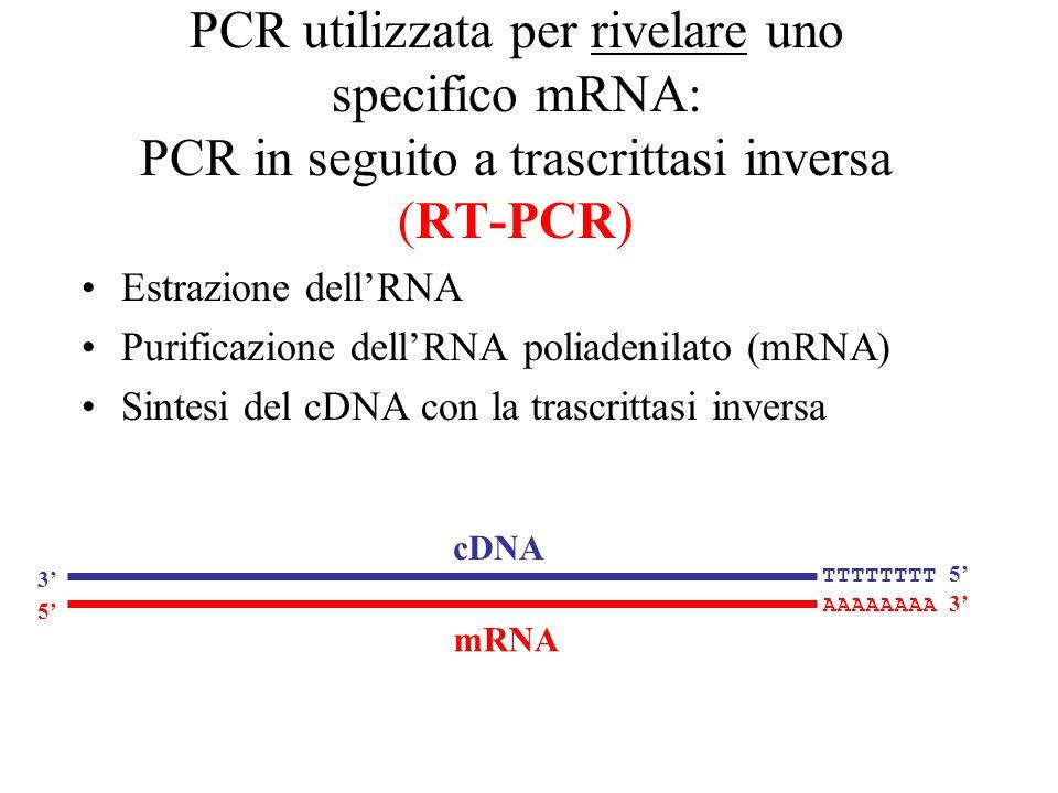 PCR utilizzata per rivelare uno specifico mRNA: PCR in seguito a trascrittasi inversa (RT-PCR) Estrazione dell'RNA Purificazione dell'RNA poliadenilat
