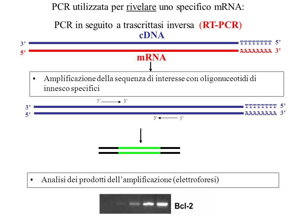 PCR utilizzata per rivelare uno specifico mRNA: PCR in seguito a trascrittasi inversa (RT-PCR) AAAAAAAA 3' 5' TTTTTTTT 5' 3' mRNA cDNA Amplificazione