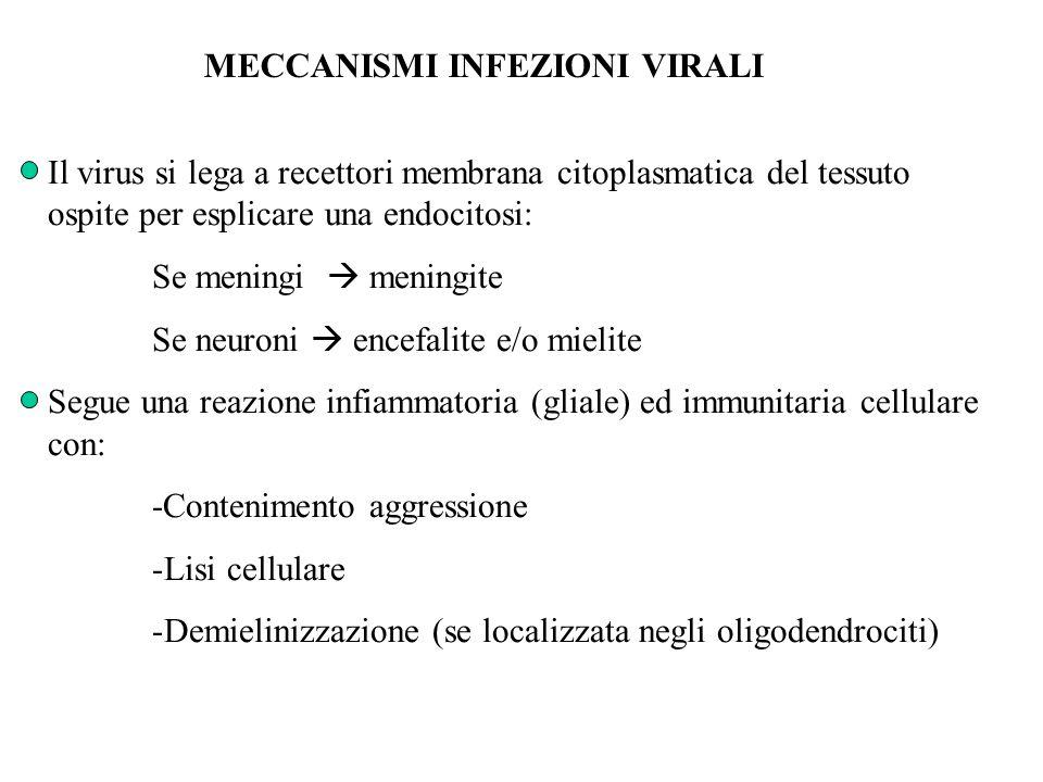 MECCANISMI INFEZIONI VIRALI Il virus si lega a recettori membrana citoplasmatica del tessuto ospite per esplicare una endocitosi: Se meningi  meningi