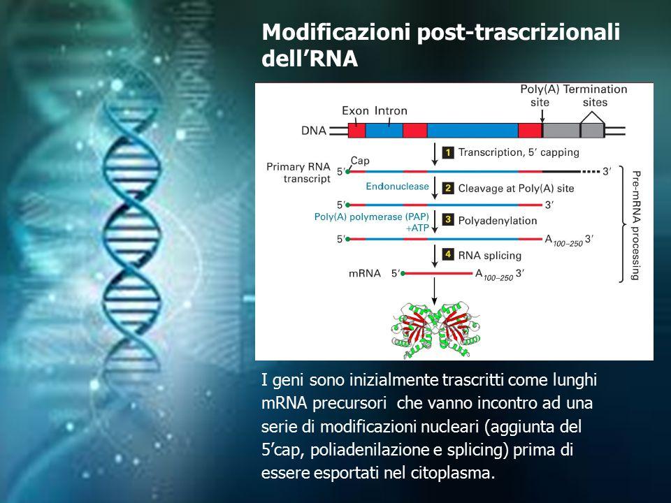 I geni sono inizialmente trascritti come lunghi mRNA precursori che vanno incontro ad una serie di modificazioni nucleari (aggiunta del 5'cap, poliade
