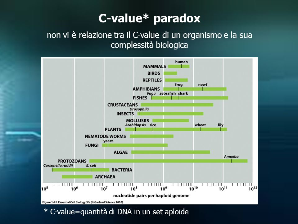 C-value* paradox non vi è relazione tra il C-value di un organismo e la sua complessità biologica * C-value=quantità di DNA in un set aploide
