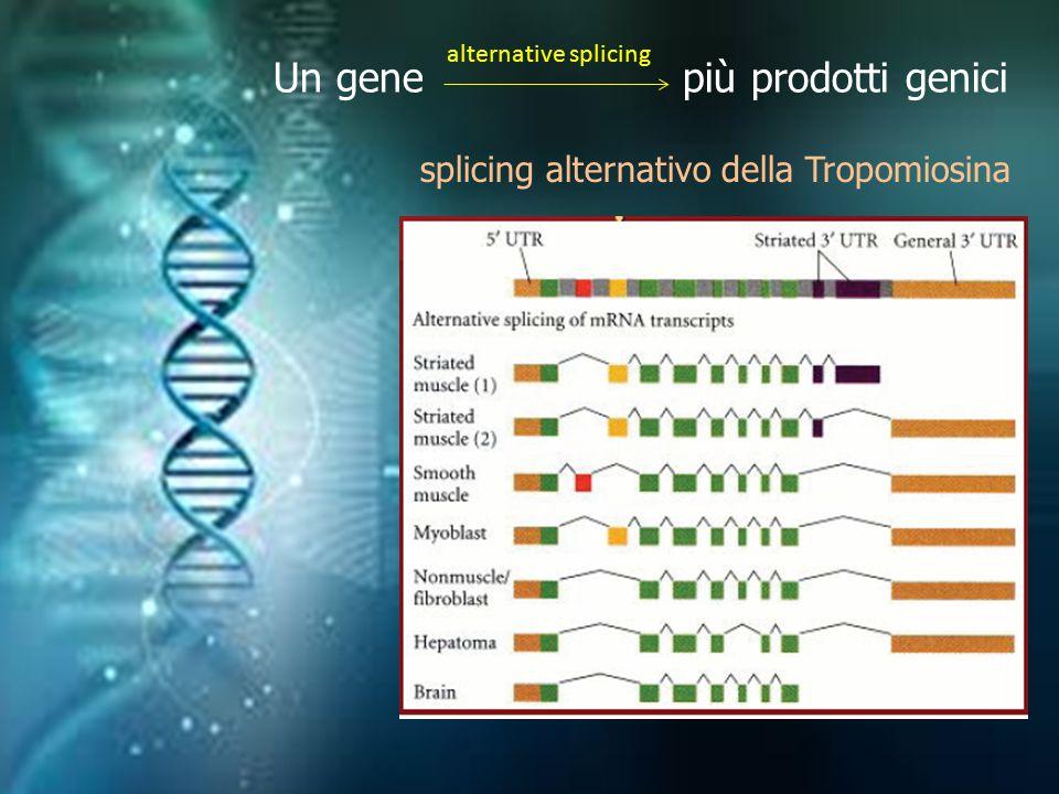 Un gene più prodotti genici alternative splicing splicing alternativo della Tropomiosina