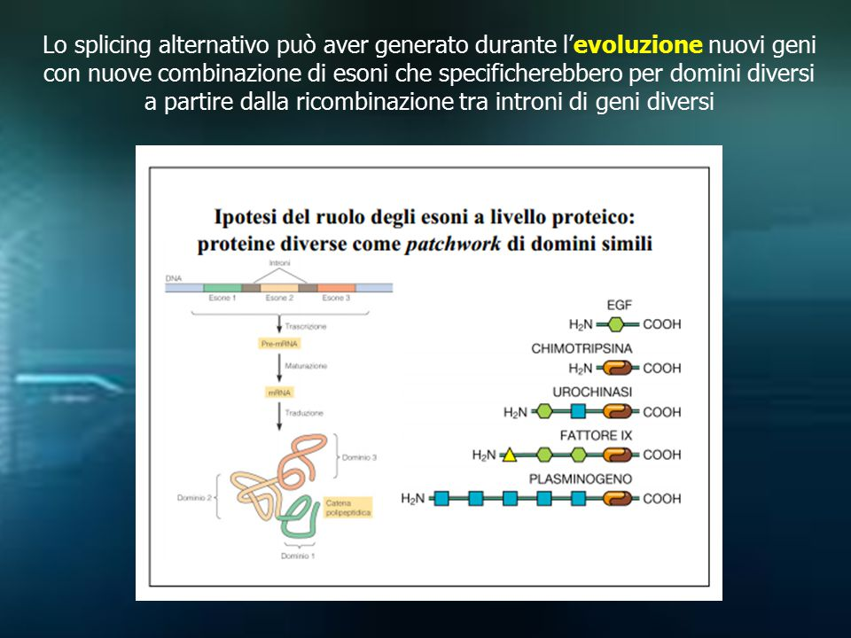 Lo splicing alternativo può aver generato durante l'evoluzione nuovi geni con nuove combinazione di esoni che specificherebbero per domini diversi a p