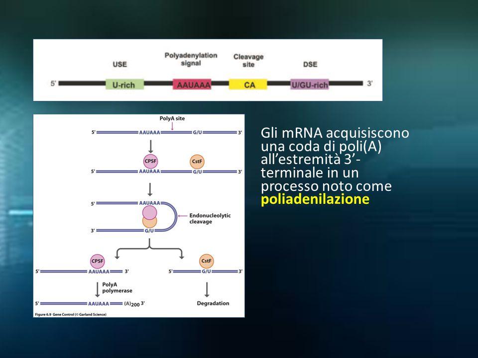 Gli mRNA acquisiscono una coda di poli(A) all'estremità 3'- terminale in un processo noto come poliadenilazione
