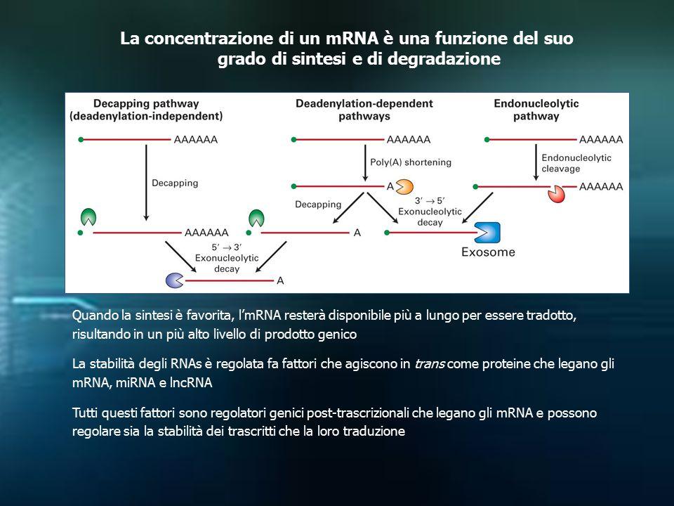 La concentrazione di un mRNA è una funzione del suo grado di sintesi e di degradazione Quando la sintesi è favorita, l'mRNA resterà disponibile più a