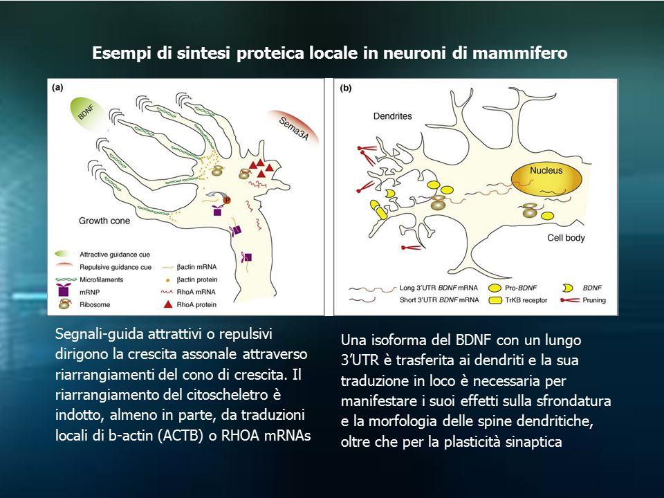Una isoforma del BDNF con un lungo 3'UTR è trasferita ai dendriti e la sua traduzione in loco è necessaria per manifestare i suoi effetti sulla sfrond
