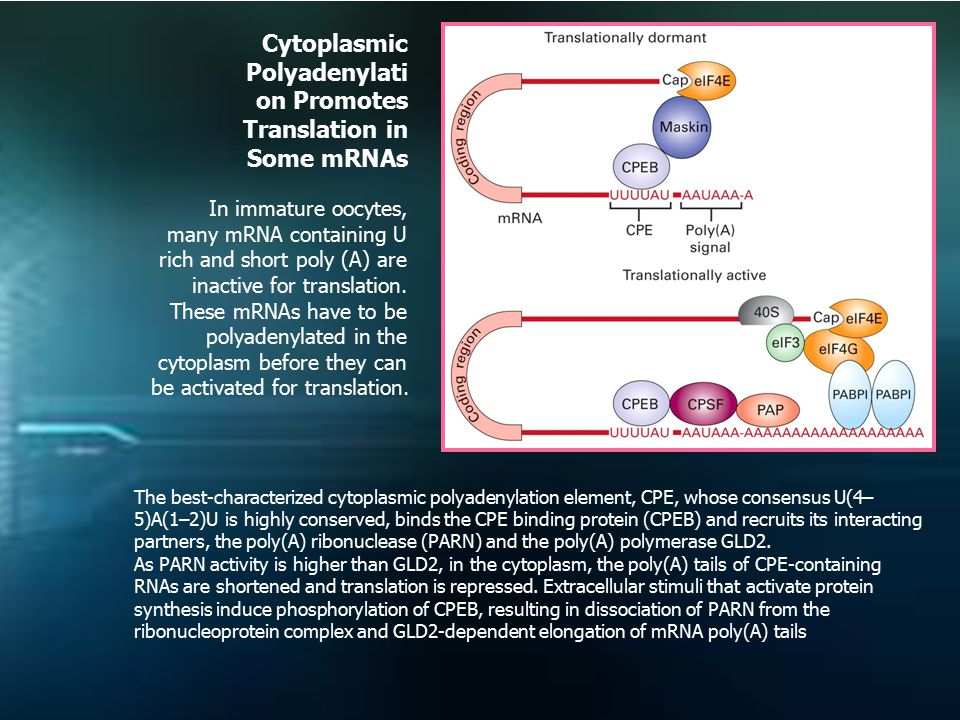 Cytoplasmic Polyadenylati on Promotes Translation in Some mRNAs In immature oocytes, many mRNA containing U rich and short poly (A) are inactive for translation.