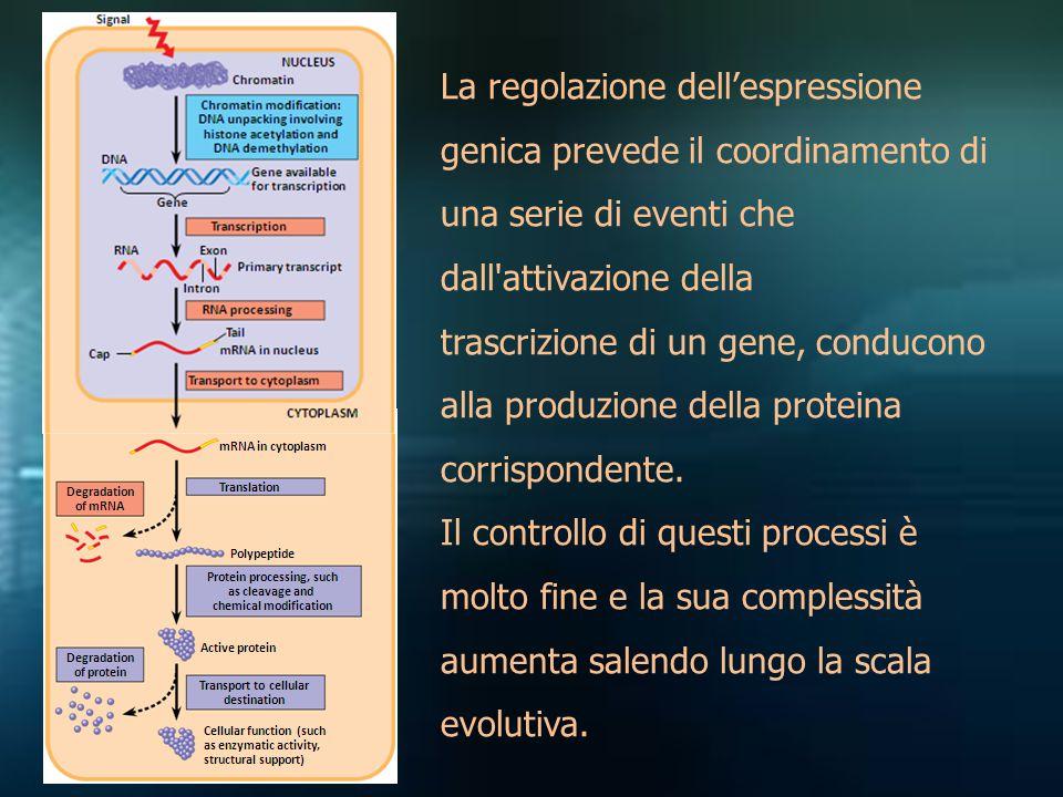 La regolazione dell'espressione genica prevede il coordinamento di una serie di eventi che dall'attivazione della trascrizione di un gene, conducono a