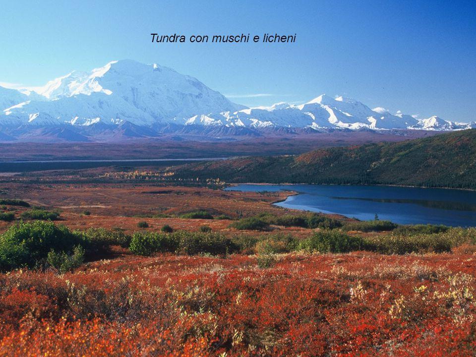 Tundra con muschi e licheni