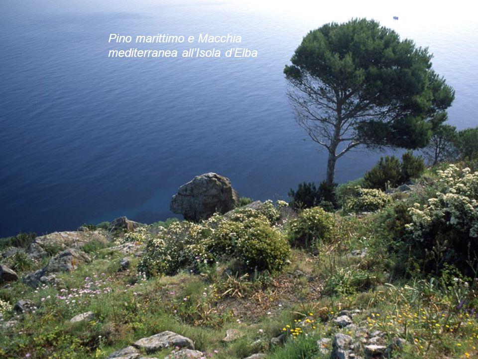 Pino marittimo e Macchia mediterranea all'Isola d'Elba