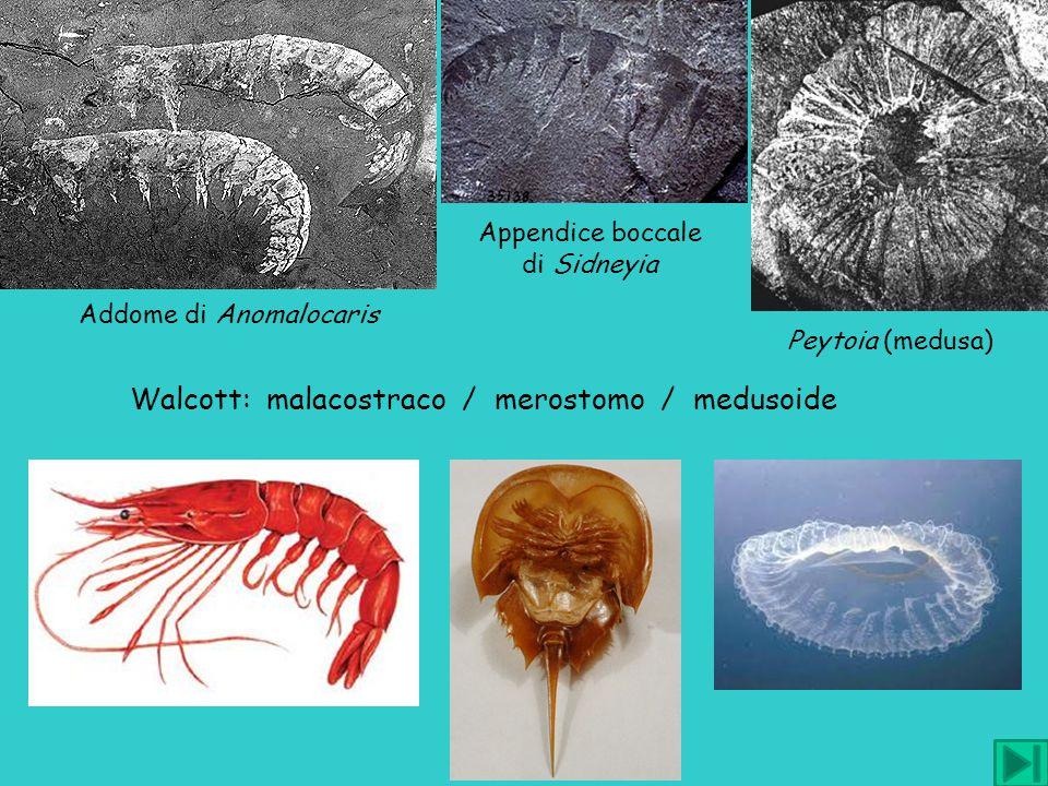 Walcott: malacostraco / merostomo / medusoide Peytoia (medusa) Addome di Anomalocaris Appendice boccale di Sidneyia