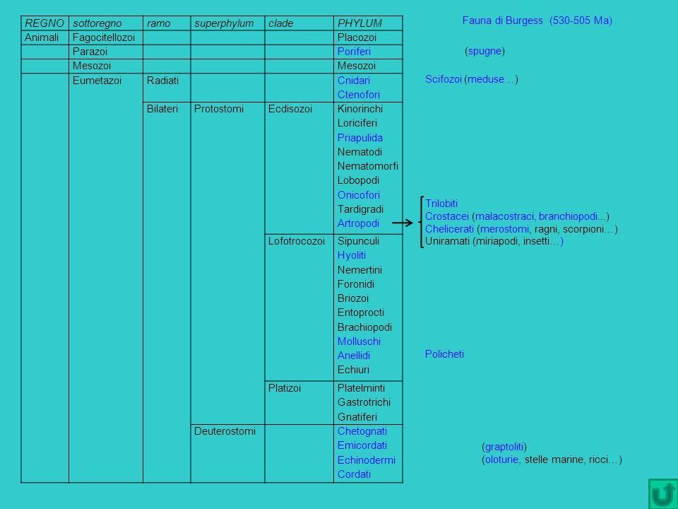 Fauna di Burgess (530-505 Ma) (spugne) Scifozoi (meduse…) Trilobiti Crostacei (malacostraci, branchiopodi...) Chelicerati (merostomi, ragni, scorpioni