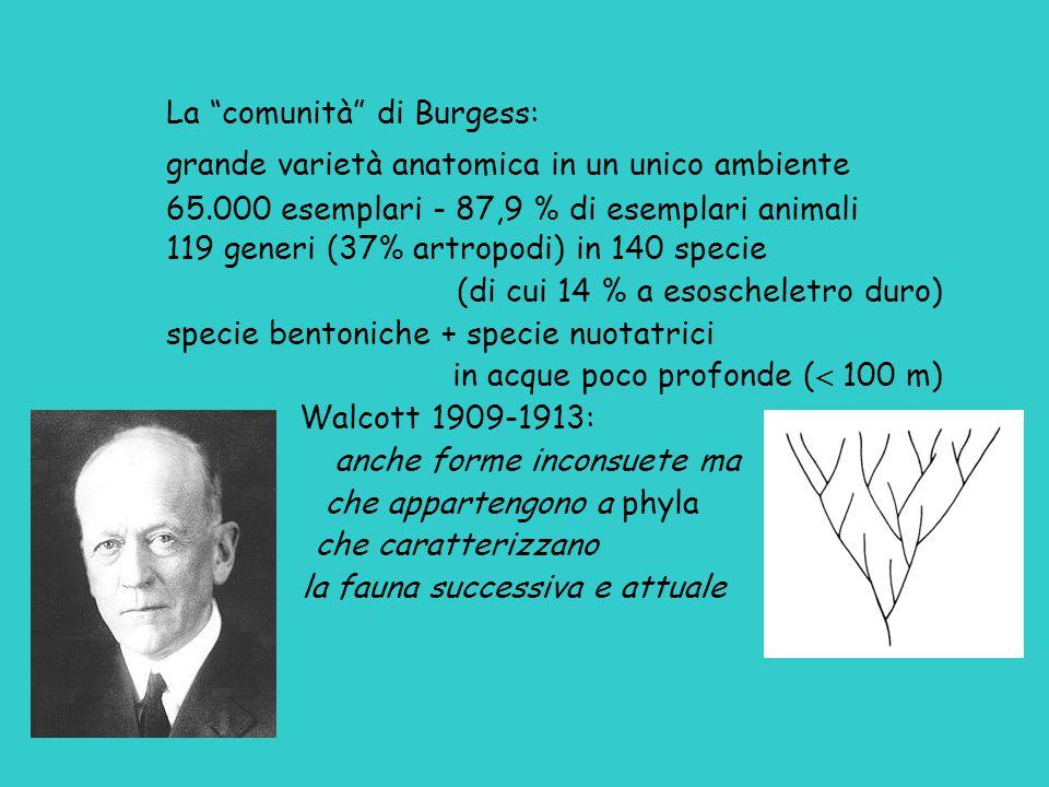 """La """"comunità"""" di Burgess: grande varietà anatomica in un unico ambiente 65.000 esemplari - 87,9 % di esemplari animali 119 generi (37% artropodi) in 1"""