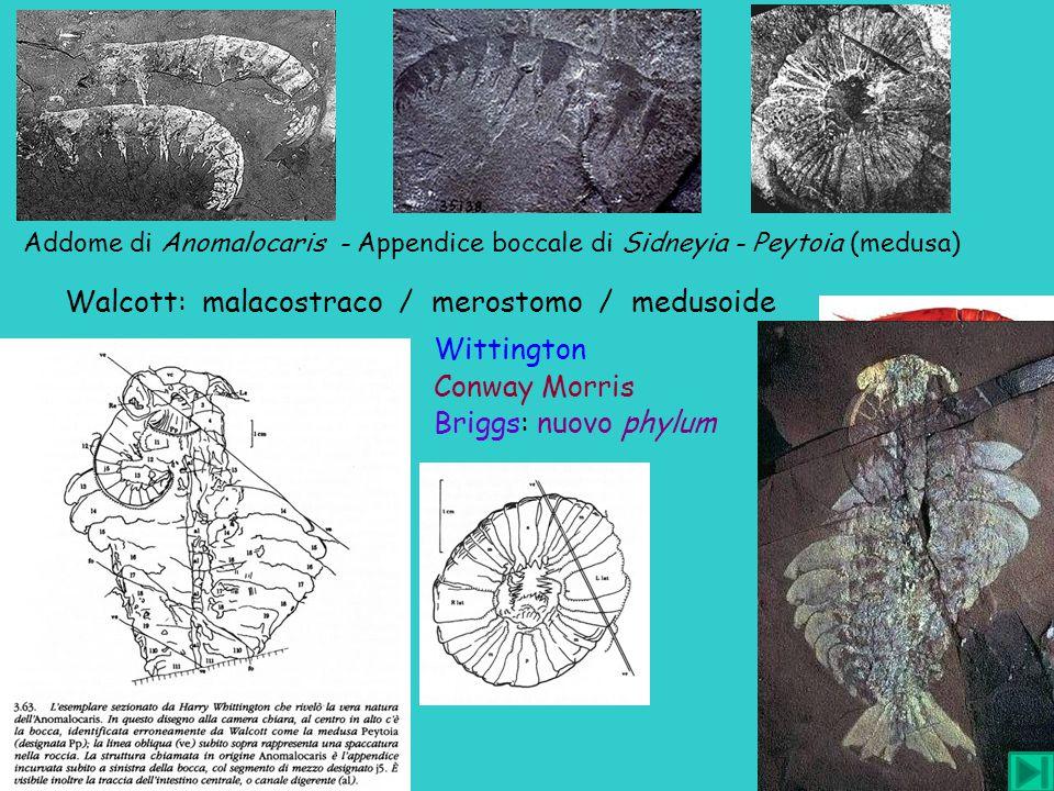Walcott: malacostraco / merostomo / medusoide Wittington Conway Morris Briggs: nuovo phylum Addome di Anomalocaris - Appendice boccale di Sidneyia - P