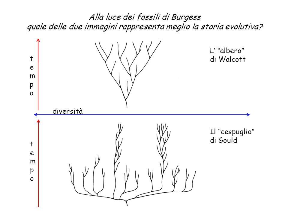 """diversità tempotempo tempotempo L' """"albero"""" di Walcott Il """"cespuglio"""" di Gould Alla luce dei fossili di Burgess quale delle due immagini rappresenta m"""