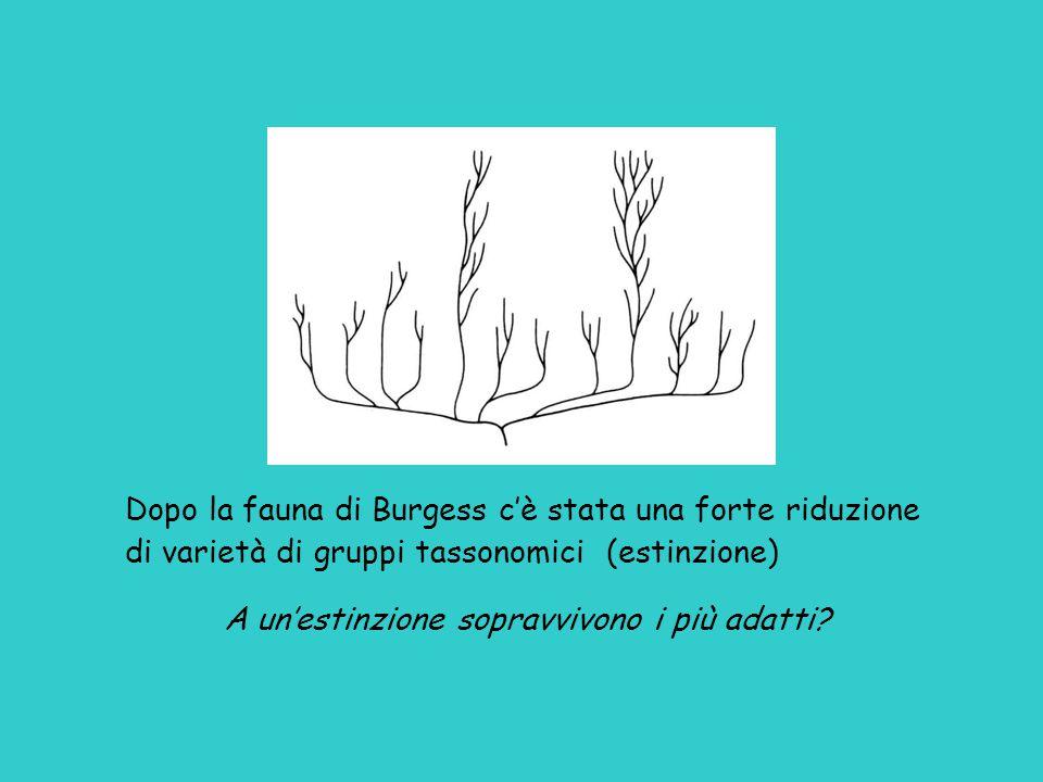 Dopo la fauna di Burgess c'è stata una forte riduzione di varietà di gruppi tassonomici (estinzione) A un'estinzione sopravvivono i più adatti?