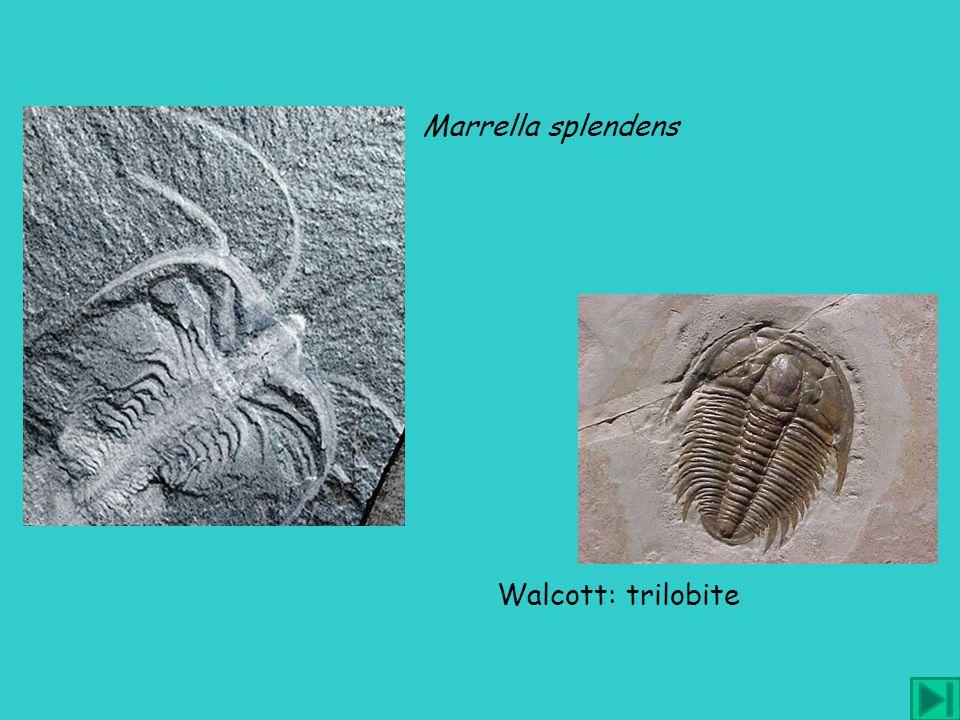 Walcott: trilobite analisi tridimensionale Whittington: artropodo unico precursore di crostacei e trilobiti Marrella splendens