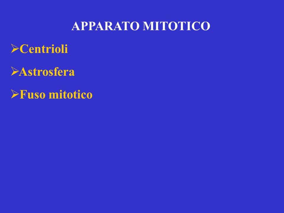 APPARATO MITOTICO  Centrioli  Astrosfera  Fuso mitotico
