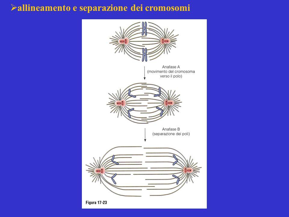  allineamento e separazione dei cromosomi