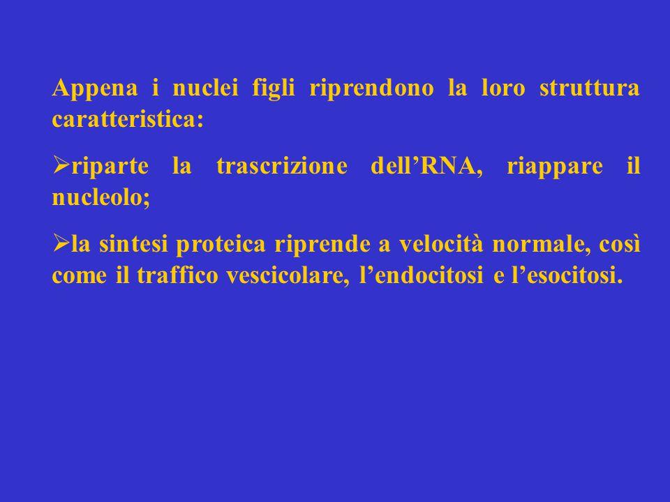 Appena i nuclei figli riprendono la loro struttura caratteristica:  riparte la trascrizione dell'RNA, riappare il nucleolo;  la sintesi proteica riprende a velocità normale, così come il traffico vescicolare, l'endocitosi e l'esocitosi.