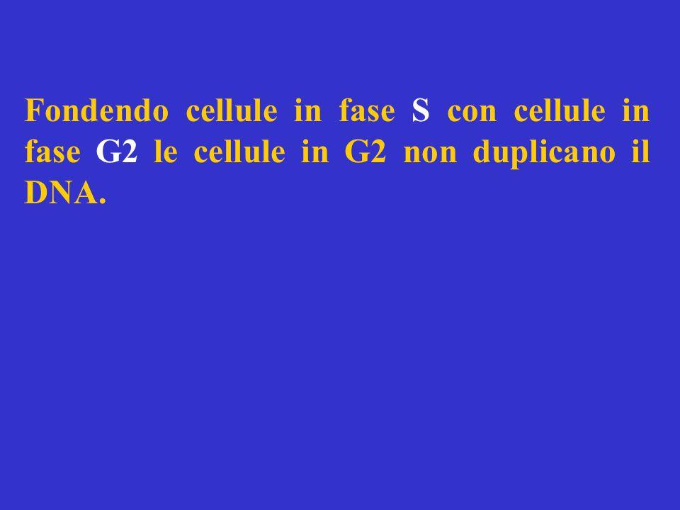 Fondendo cellule in fase S con cellule in fase G2 le cellule in G2 non duplicano il DNA.