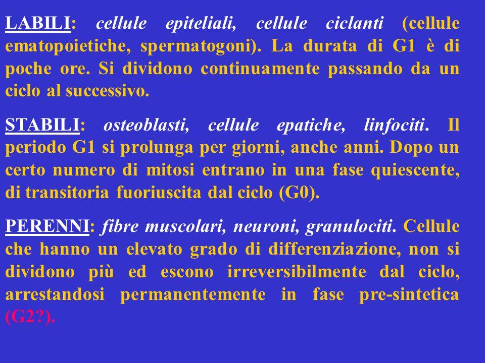 LABILI: cellule epiteliali, cellule ciclanti (cellule ematopoietiche, spermatogoni).