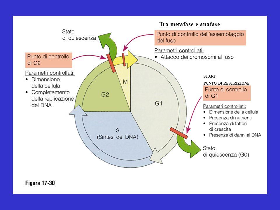 START PUNTO DI RESTRIZIONE Tra metafase e anafase