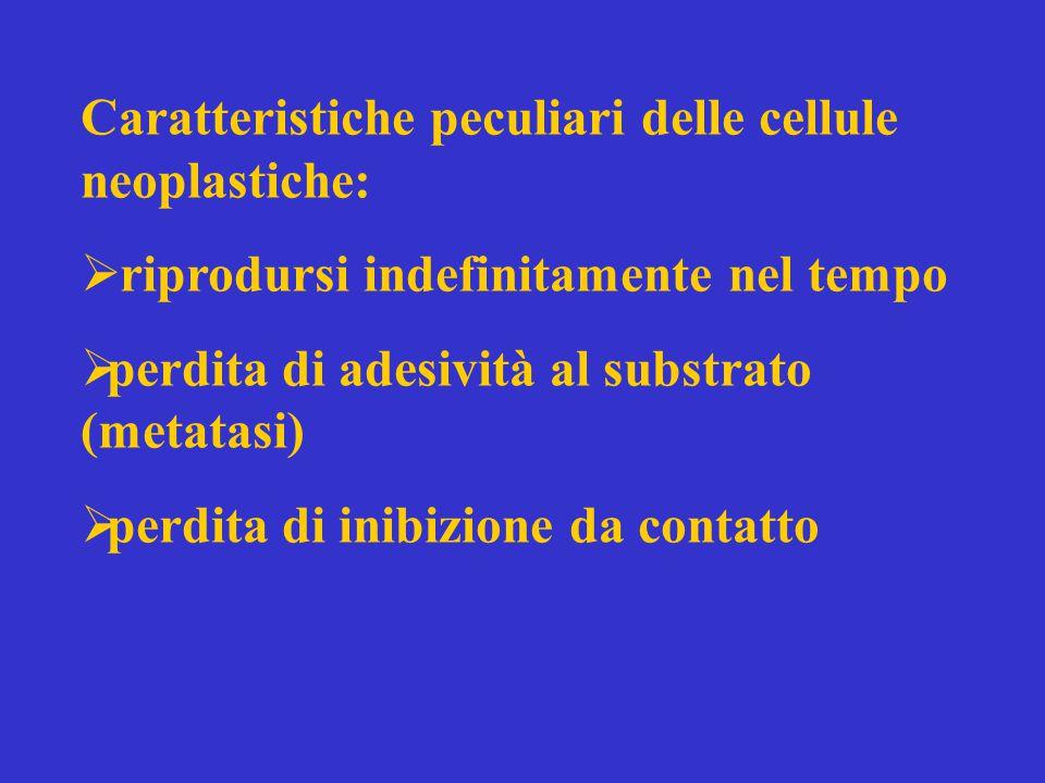 Caratteristiche peculiari delle cellule neoplastiche:  riprodursi indefinitamente nel tempo  perdita di adesività al substrato (metatasi)  perdita di inibizione da contatto