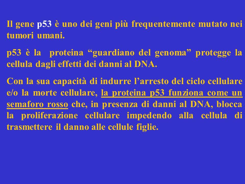 Il gene p53 è uno dei geni più frequentemente mutato nei tumori umani.