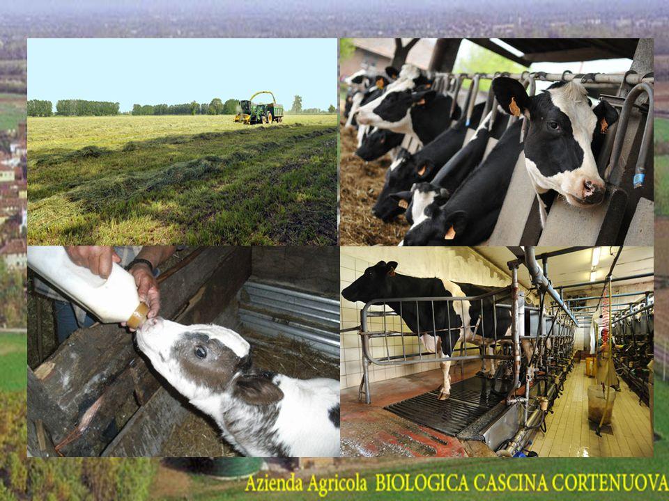 L'ALLEVAMENTO La cascina alleva le mucche in modo biologico, esse producono il latte usato per la produzione di alimenti che la cascina vende nello spaccio aziendale.
