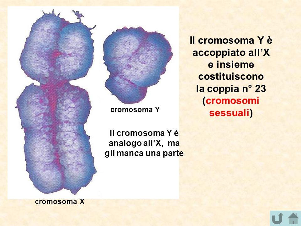 cromosoma Y cromosoma X Il cromosoma Y è accoppiato all'X e insieme costituiscono la coppia n° 23 (cromosomi sessuali) Il cromosoma Y è analogo all'X,