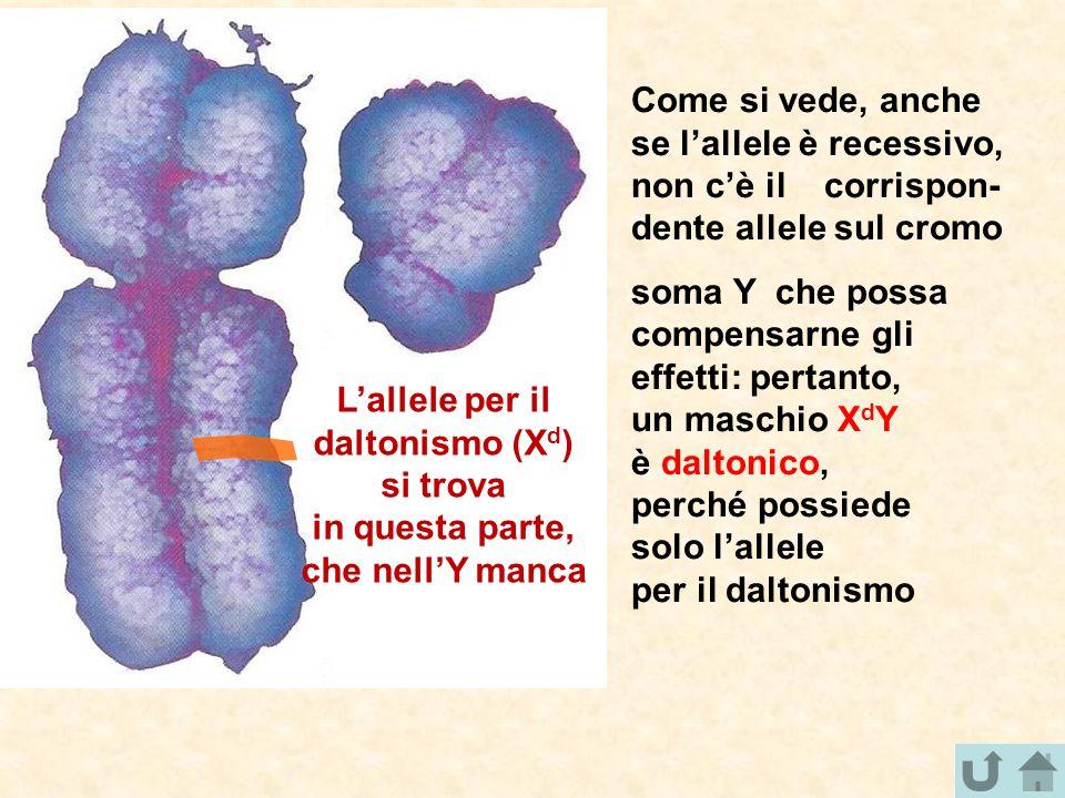 Come si vede, anche se l'allele è recessivo, non c'è il corrispon- dente allele sul cromo soma Y che possa compensarne gli effetti: pertanto, un masch
