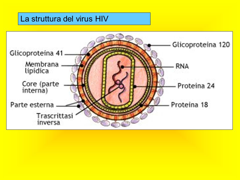Dopo circa 4-6 mesi dall'infezione, la risposta immunitaria dell'organismo contro l'agente patogeno determina il raggiungimento di un equilibrio (set point) tra i virus di nuova formazione e quelli che vengono distrutti.