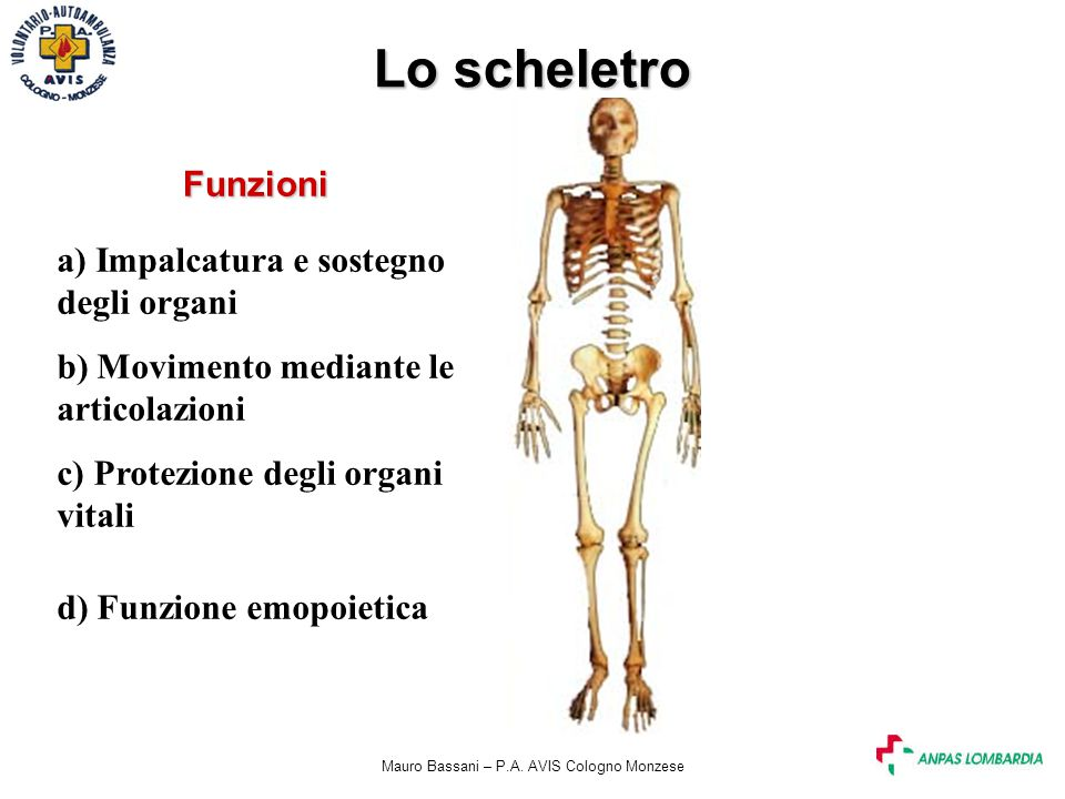 Mauro Bassani – P.A. AVIS Cologno Monzese Lo scheletro a) Impalcatura e sostegno degli organi b) Movimento mediante le articolazioni c) Protezione deg