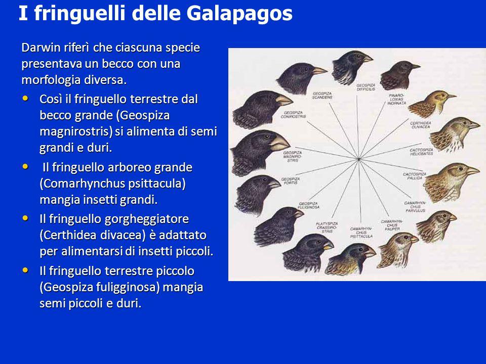 Darwin riferì che ciascuna specie presentava un becco con una morfologia diversa. Così il fringuello terrestre dal becco grande (Geospiza magnirostris