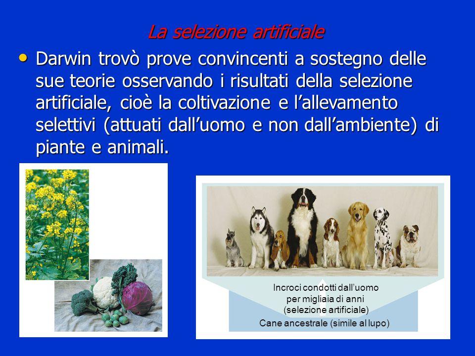 Incroci condotti dall'uomo per migliaia di anni (selezione artificiale) Cane ancestrale (simile al lupo) La selezione artificiale Darwin trovò prove c