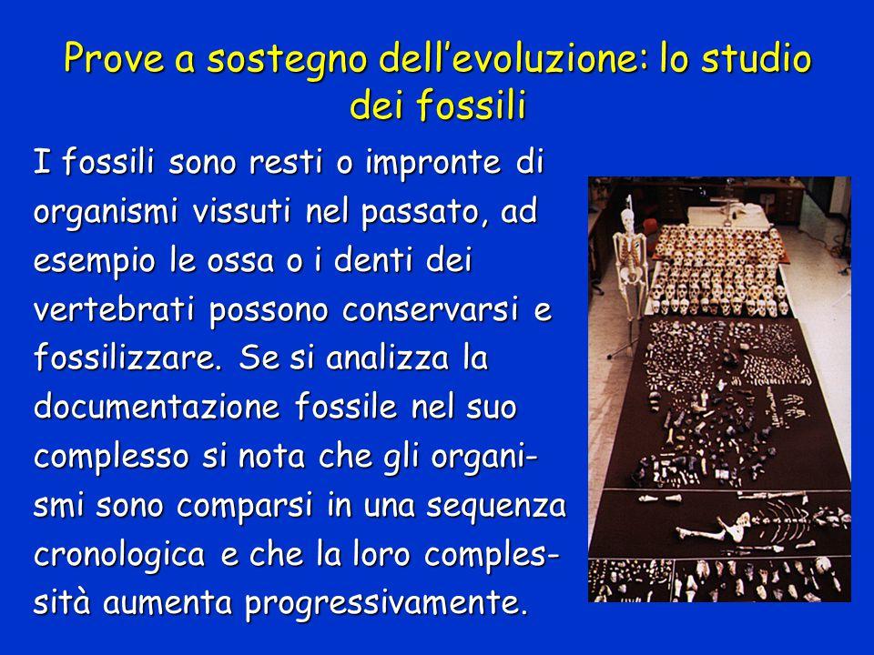 Prove a sostegno dell'evoluzione: lo studio dei fossili I fossili sono resti o impronte di organismi vissuti nel passato, ad esempio le ossa o i denti