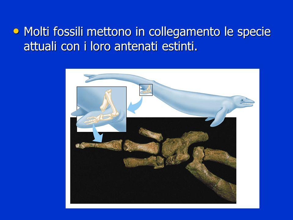 Molti fossili mettono in collegamento le specie attuali con i loro antenati estinti. Molti fossili mettono in collegamento le specie attuali con i lor