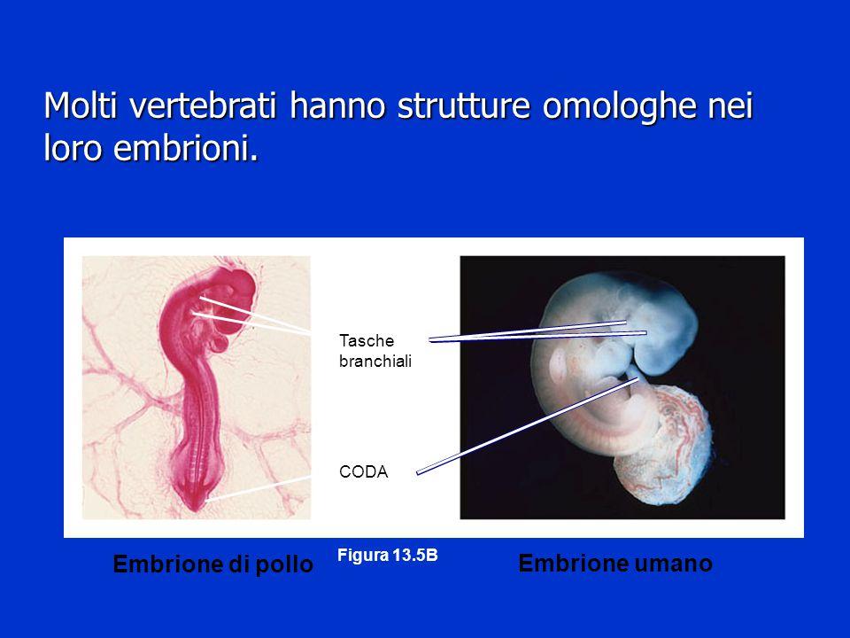 CODA Tasche branchiali Embrione di pollo Embrione umano Figura 13.5B Molti vertebrati hanno strutture omologhe nei loro embrioni.